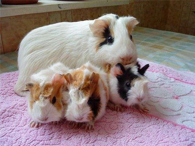 Что следует знать об аллергических реакциях на морских свинок?