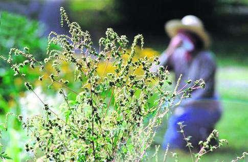 Какие растения становятся причиной аллергии?