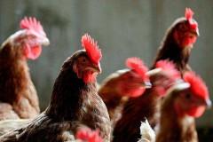 Курица – популярный детский аллерген